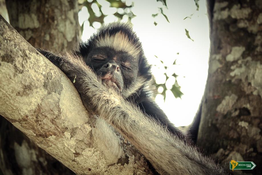 Mono araña durmiendo en el árbol - Iquitos Mochileros Perú