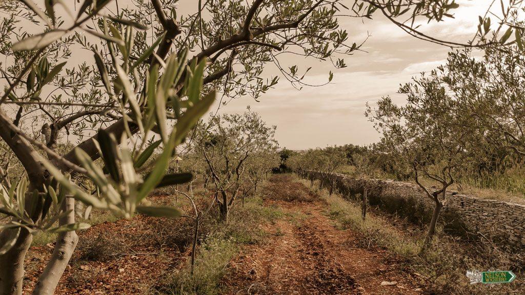 Campo de aceite de oliva- Istria, Vodnjan